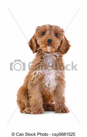 Cockapoo clipart #4, Download drawings