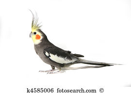 Cockatiel clipart #12, Download drawings