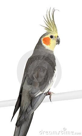 Cockatiel clipart #5, Download drawings