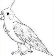 Cockatiel clipart #18, Download drawings