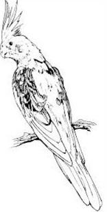 Cockatiel clipart #13, Download drawings