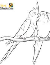 Cockatiel coloring #15, Download drawings