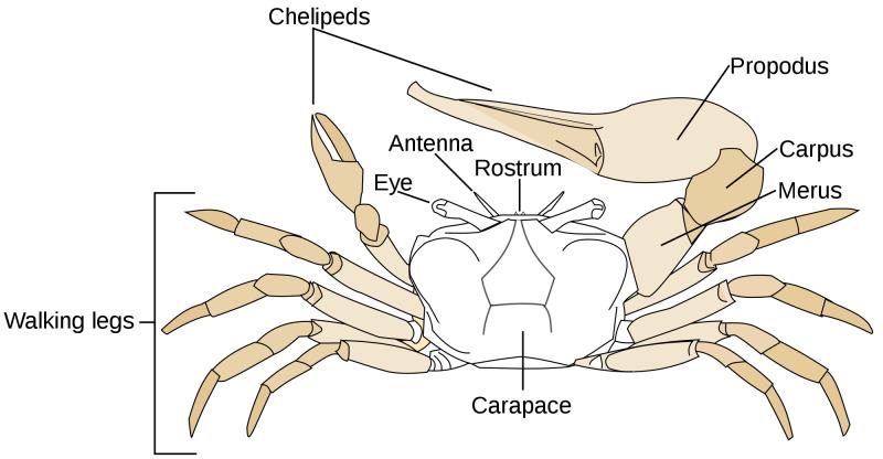 Blue Crab Diagram Crazywidowfo