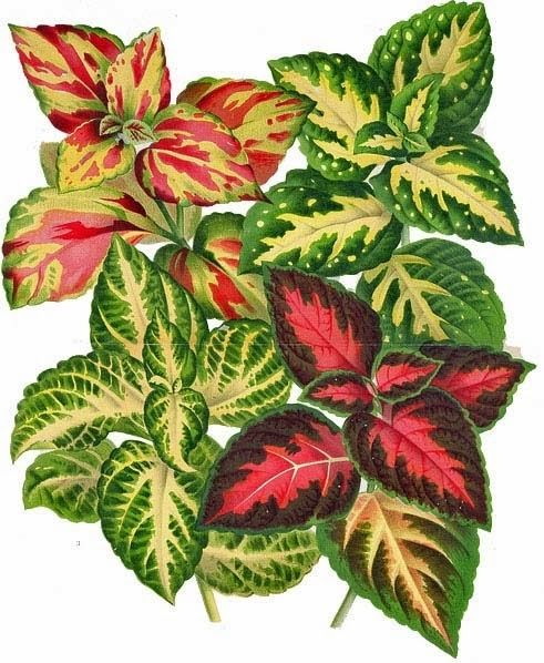 Coleus clipart #14, Download drawings