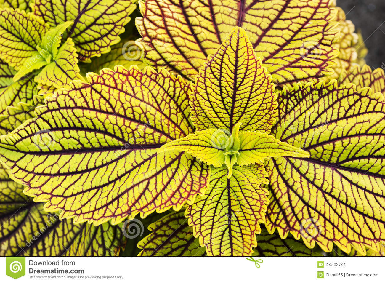 Coleus clipart #8, Download drawings