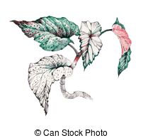 Coleus clipart #11, Download drawings