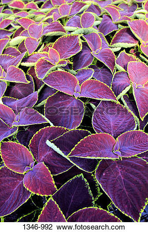 Coleus clipart #4, Download drawings