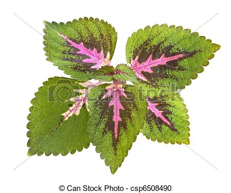 Coleus clipart #20, Download drawings