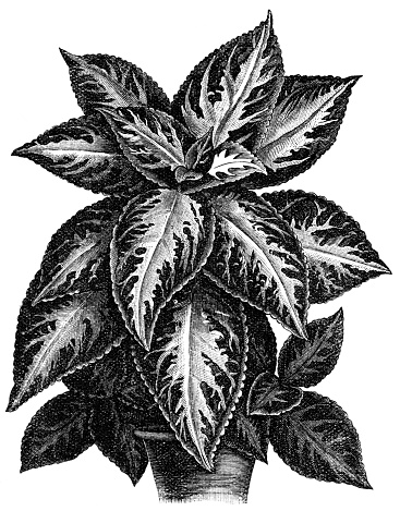 Coleus clipart #19, Download drawings