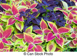 Coleus clipart #16, Download drawings