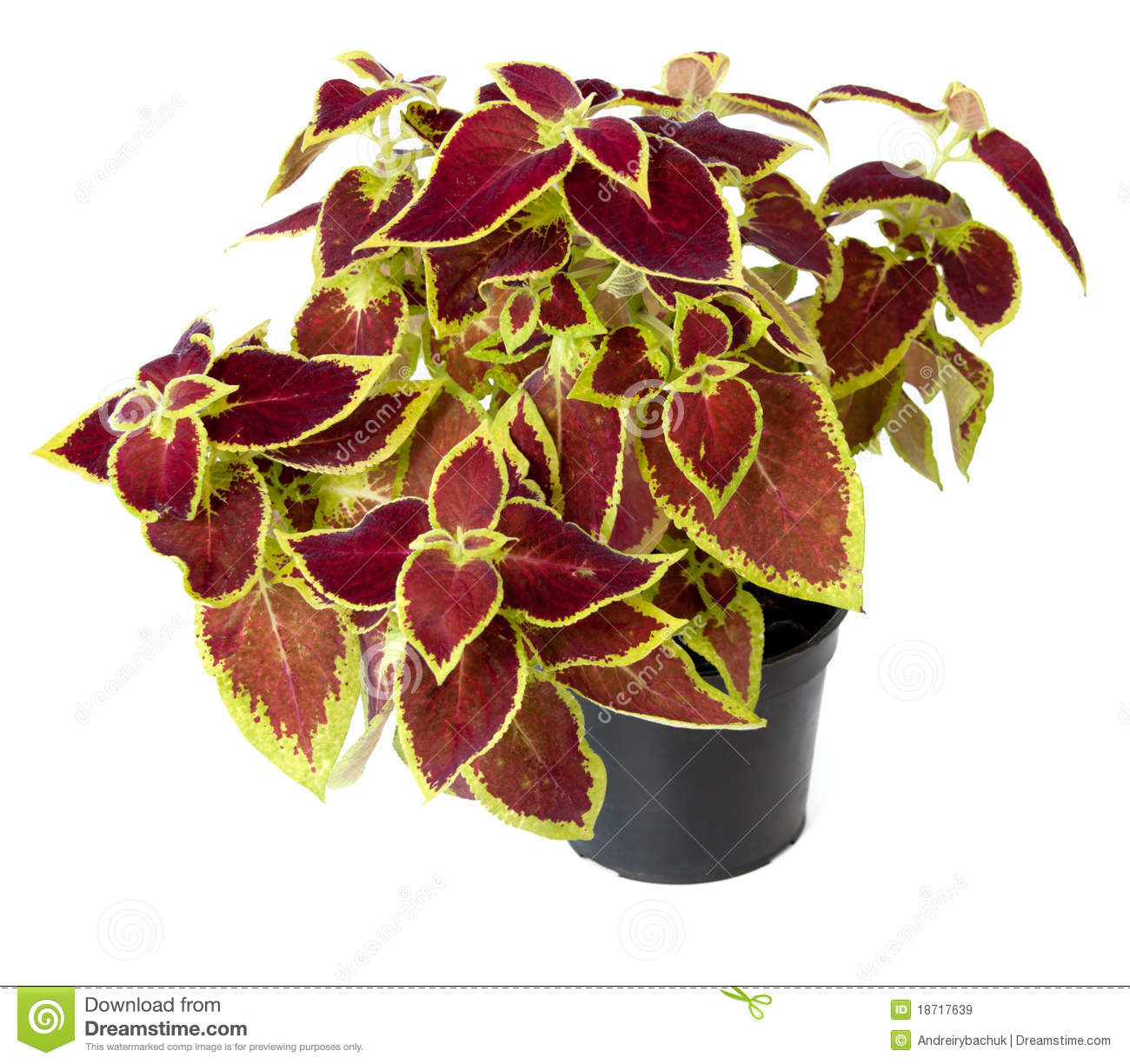 Coleus clipart #18, Download drawings
