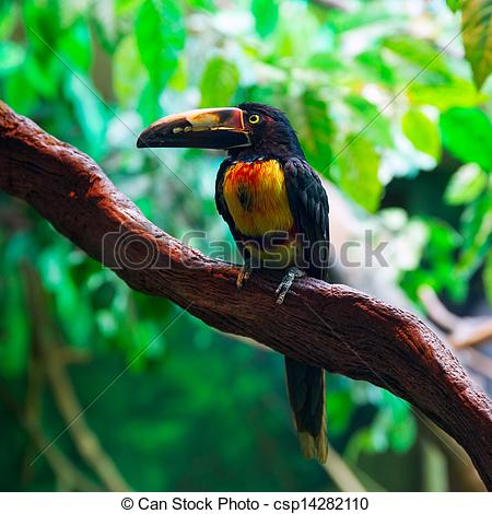 Collared Aracari clipart #12, Download drawings