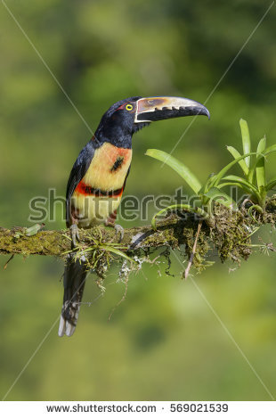 Collared Aracari clipart #11, Download drawings