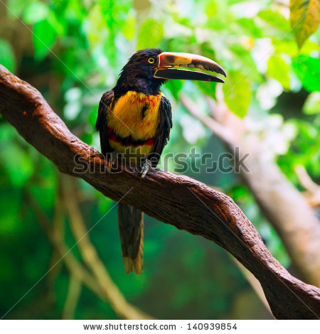 Collared Aracari clipart #10, Download drawings