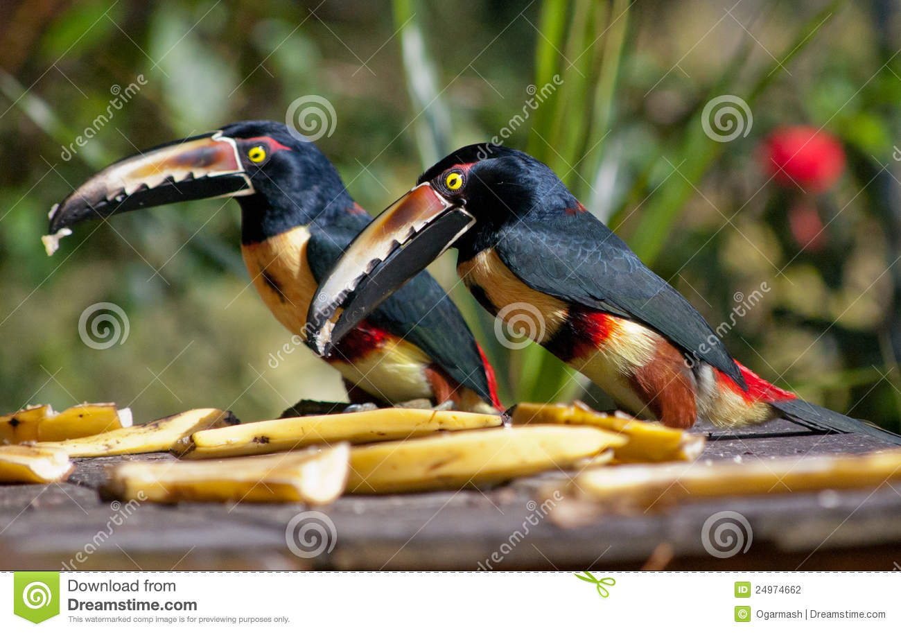 Collared Aracari clipart #8, Download drawings