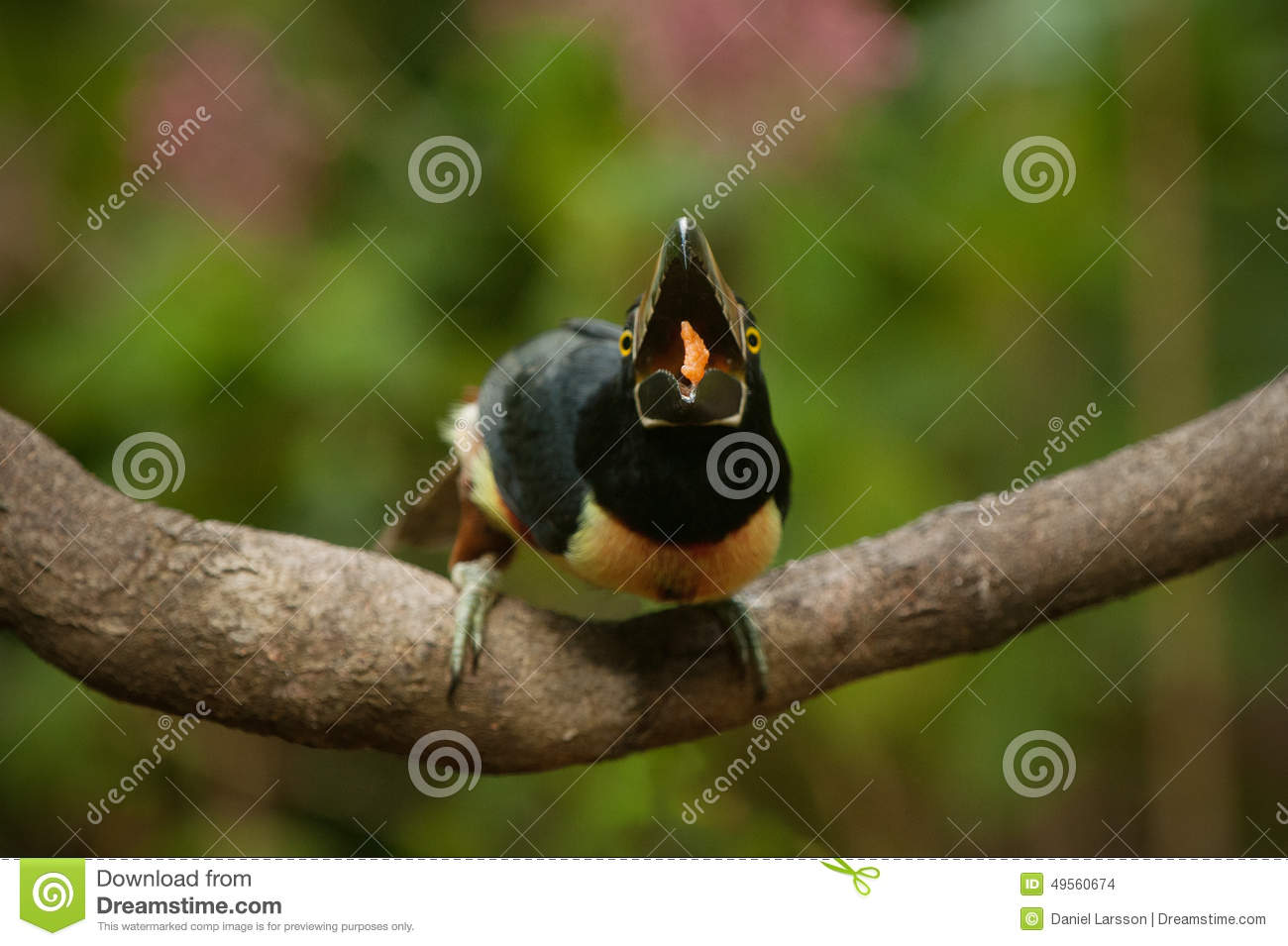 Collared Aracari clipart #7, Download drawings