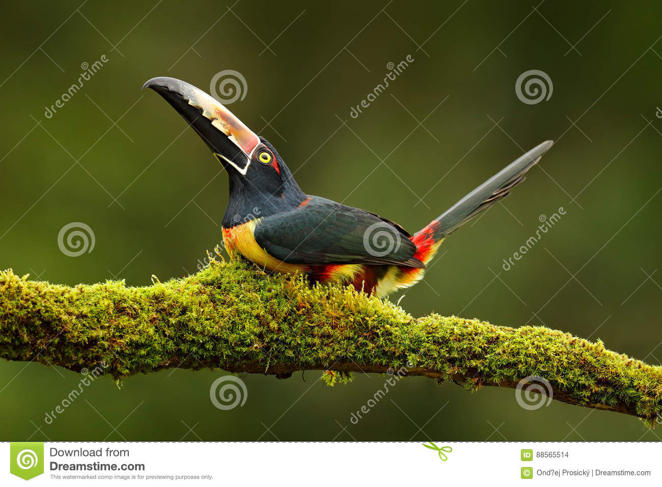 Collared Aracari clipart #6, Download drawings