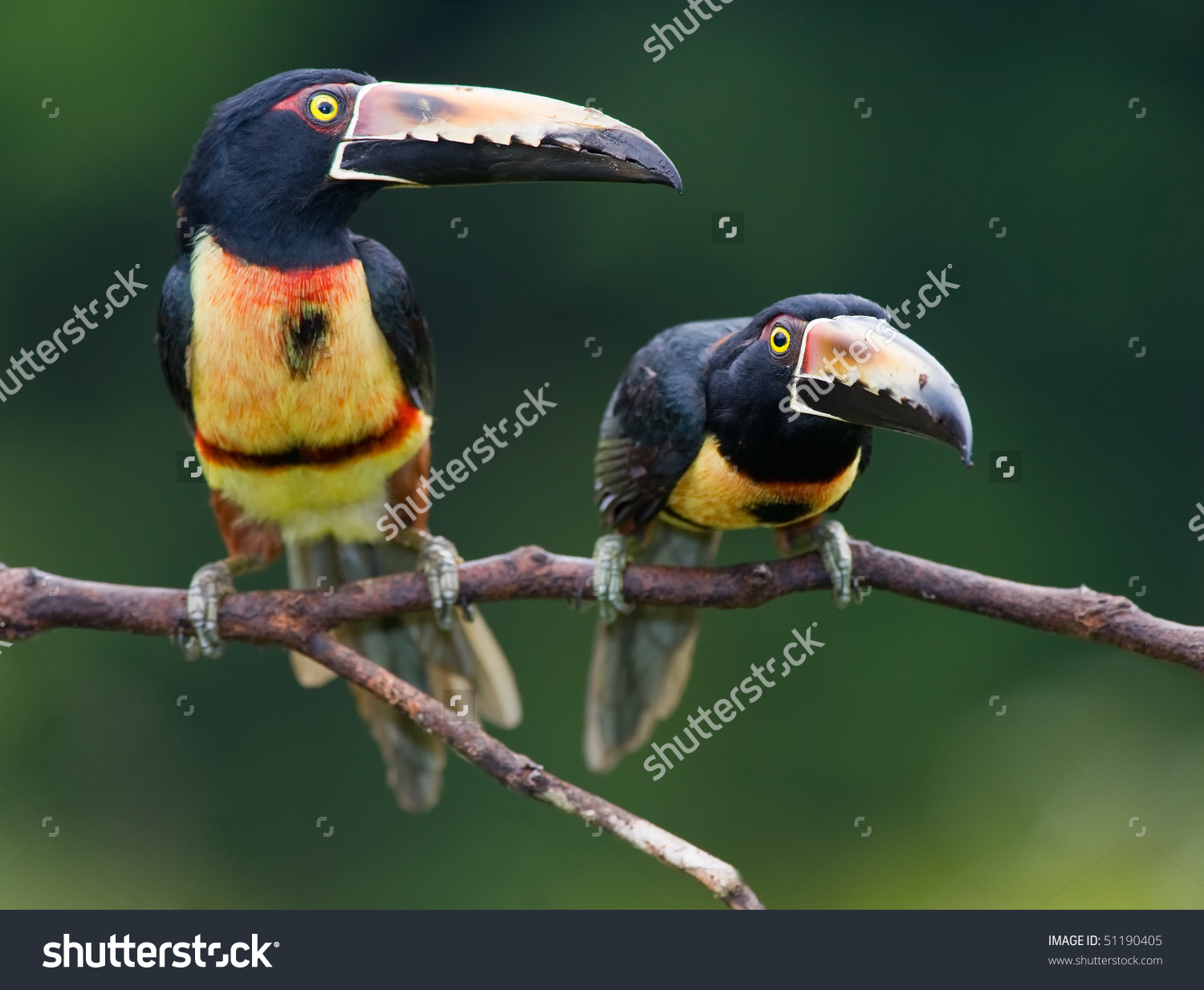 Collared Aracari clipart #3, Download drawings