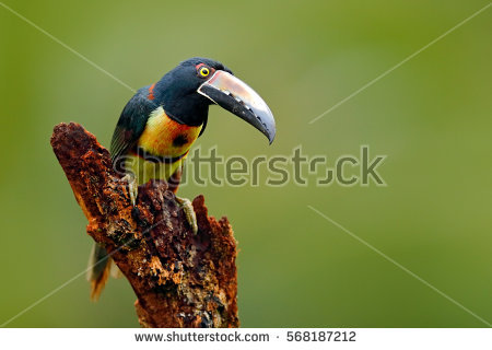 Collared Aracari clipart #15, Download drawings
