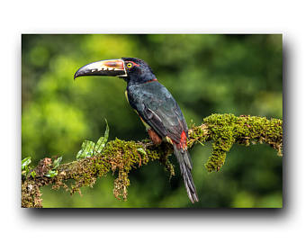 Collared Aracari coloring #20, Download drawings