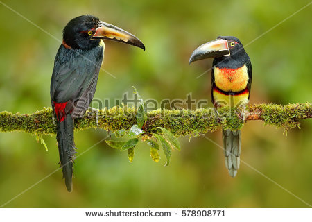 Collared Aracari coloring #12, Download drawings