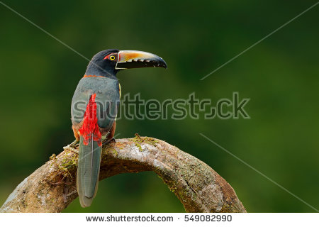 Collared Aracari coloring #17, Download drawings