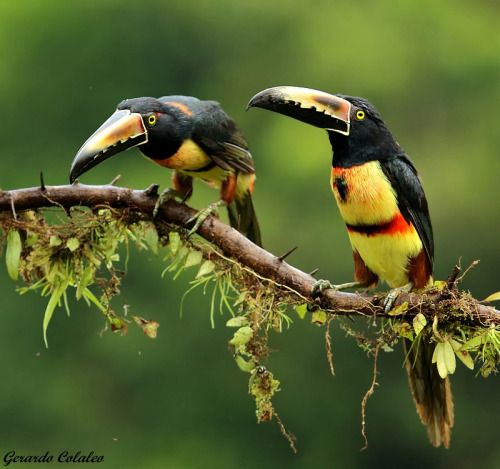 Collared Aracari coloring #4, Download drawings