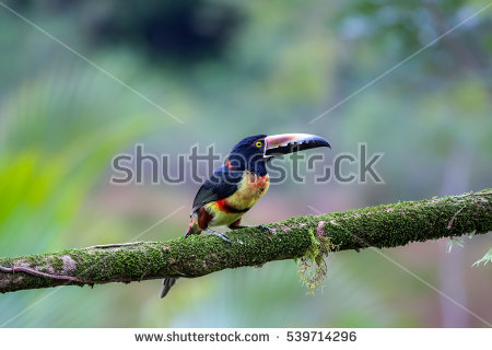 Collared Aracari coloring #19, Download drawings