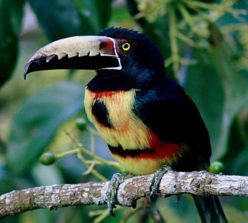 Collared Aracari coloring #6, Download drawings