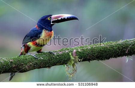 Collared Aracari coloring #11, Download drawings