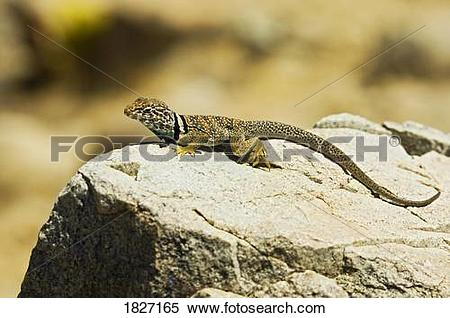 Collared Lizard clipart #12, Download drawings