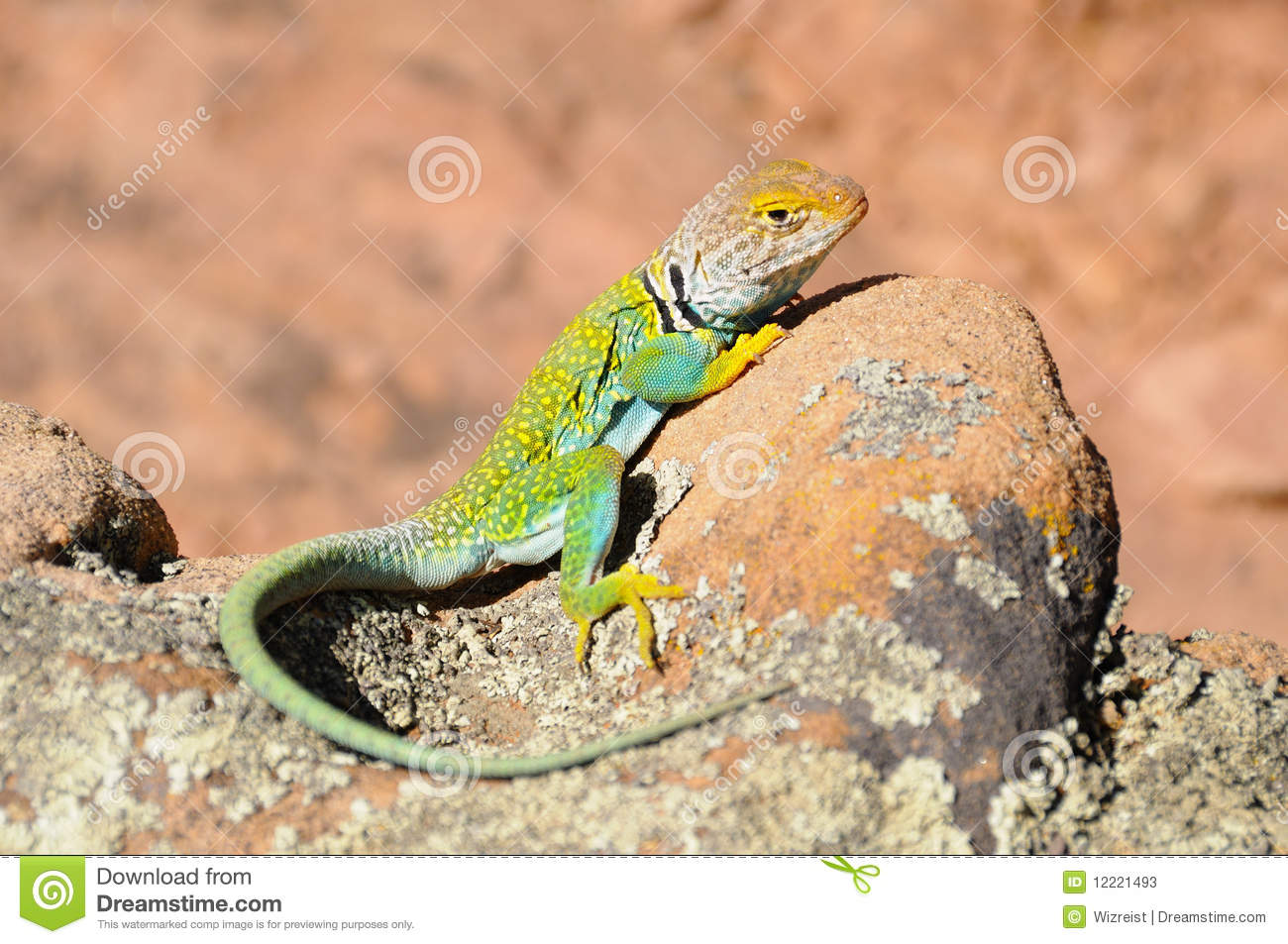 Collared Lizard clipart #9, Download drawings