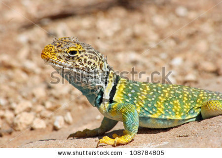 Collared Lizard clipart #8, Download drawings