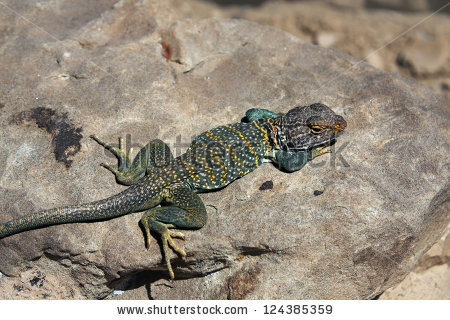 Collared Lizard clipart #6, Download drawings