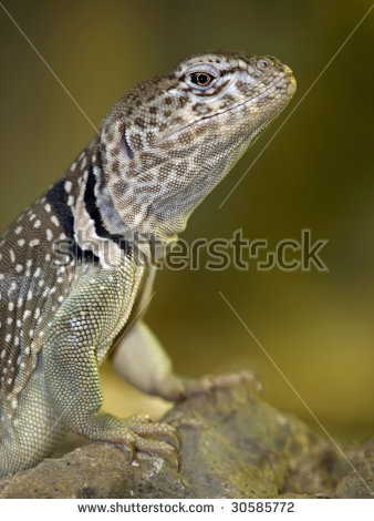 Collared Lizard clipart #2, Download drawings