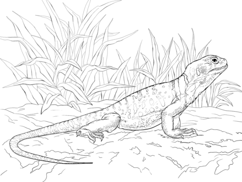 Collared Lizard coloring #14, Download drawings