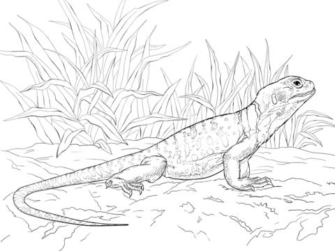 Collared Lizard coloring #14, Download drawings