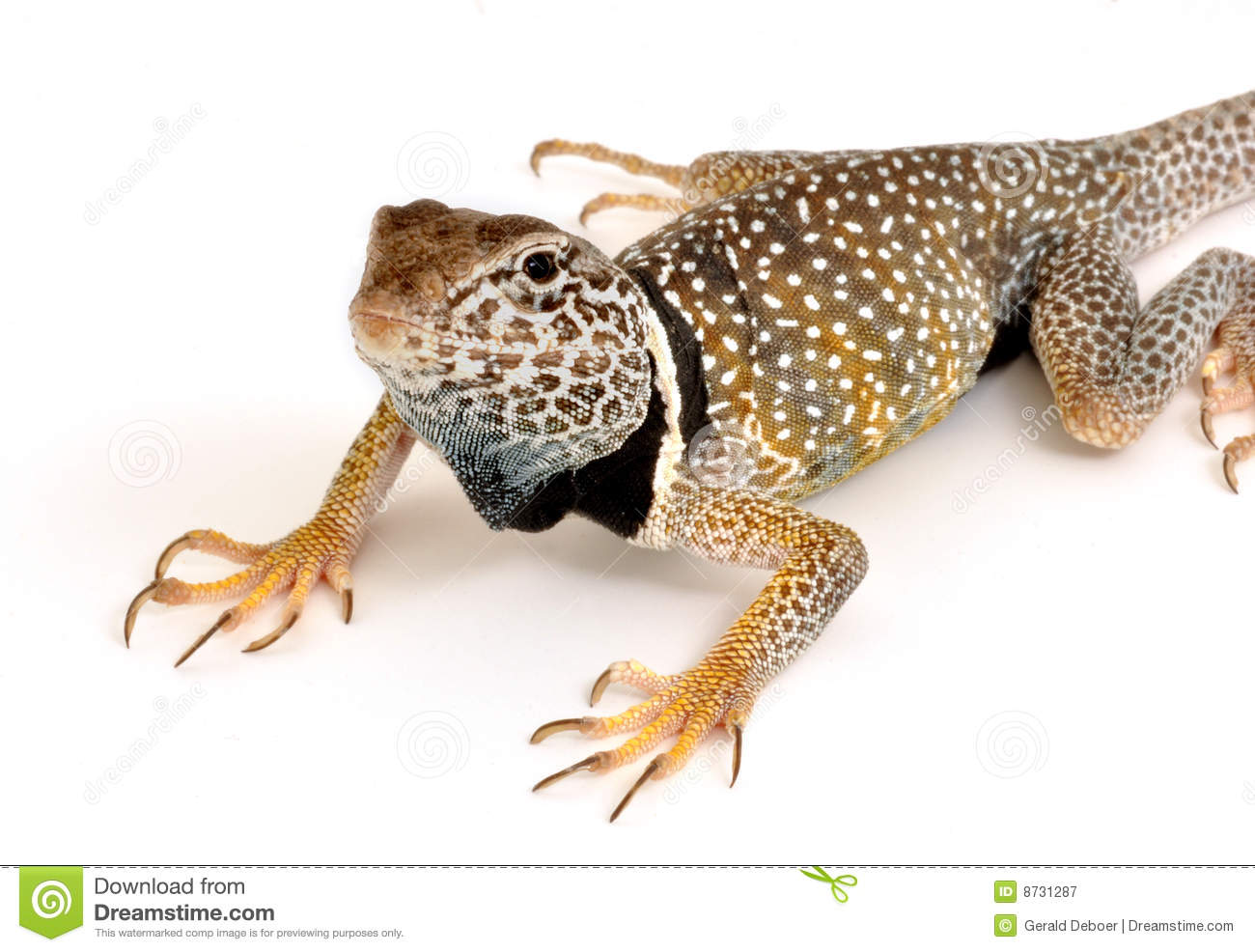 Collared Lizard clipart #7, Download drawings