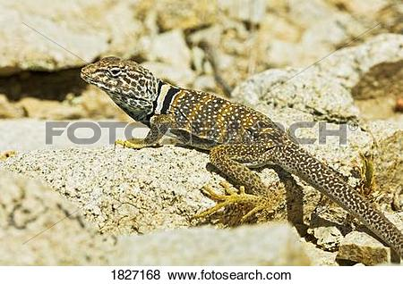 Collared Lizard clipart #5, Download drawings