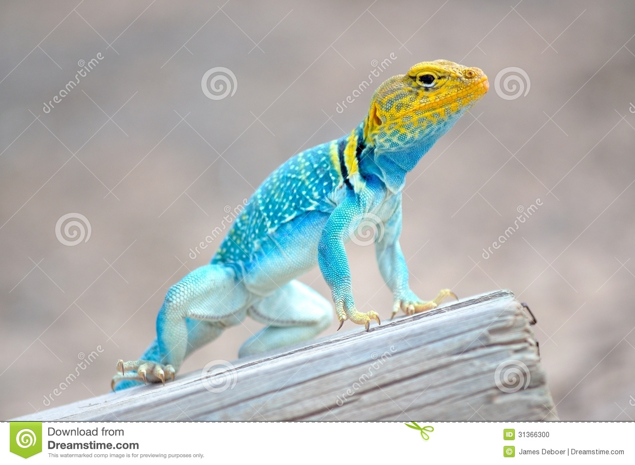 Collared Lizard clipart #14, Download drawings