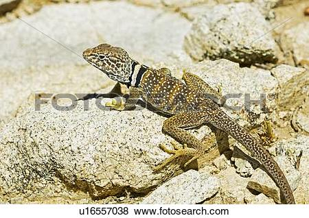 Collared Lizard clipart #16, Download drawings