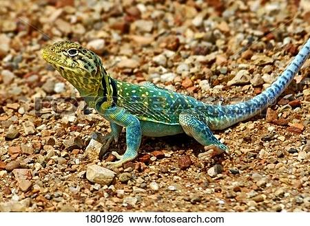 Collared Lizard clipart #18, Download drawings