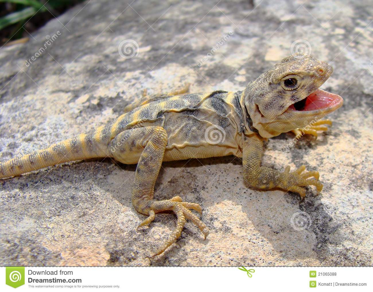 Collared Lizard clipart #17, Download drawings