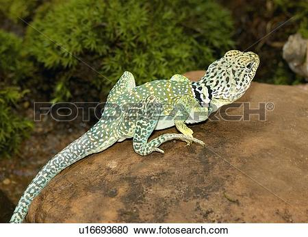 Collared Lizard clipart #13, Download drawings
