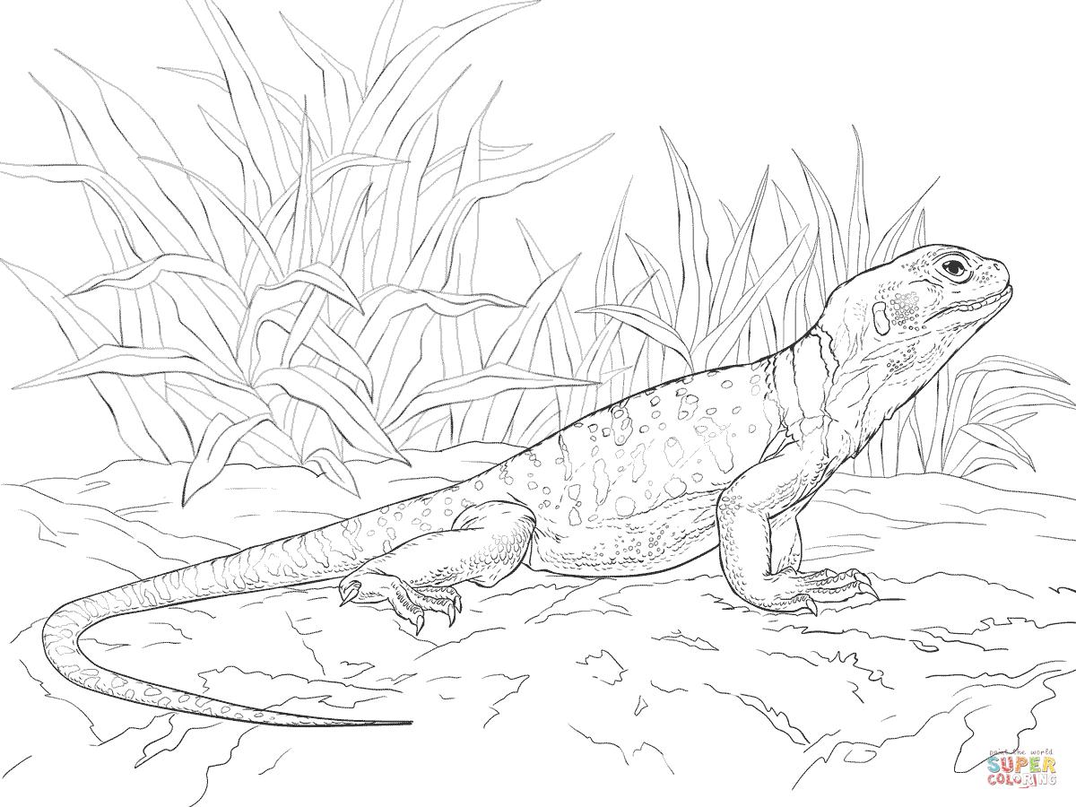 Collared Lizard coloring #13, Download drawings