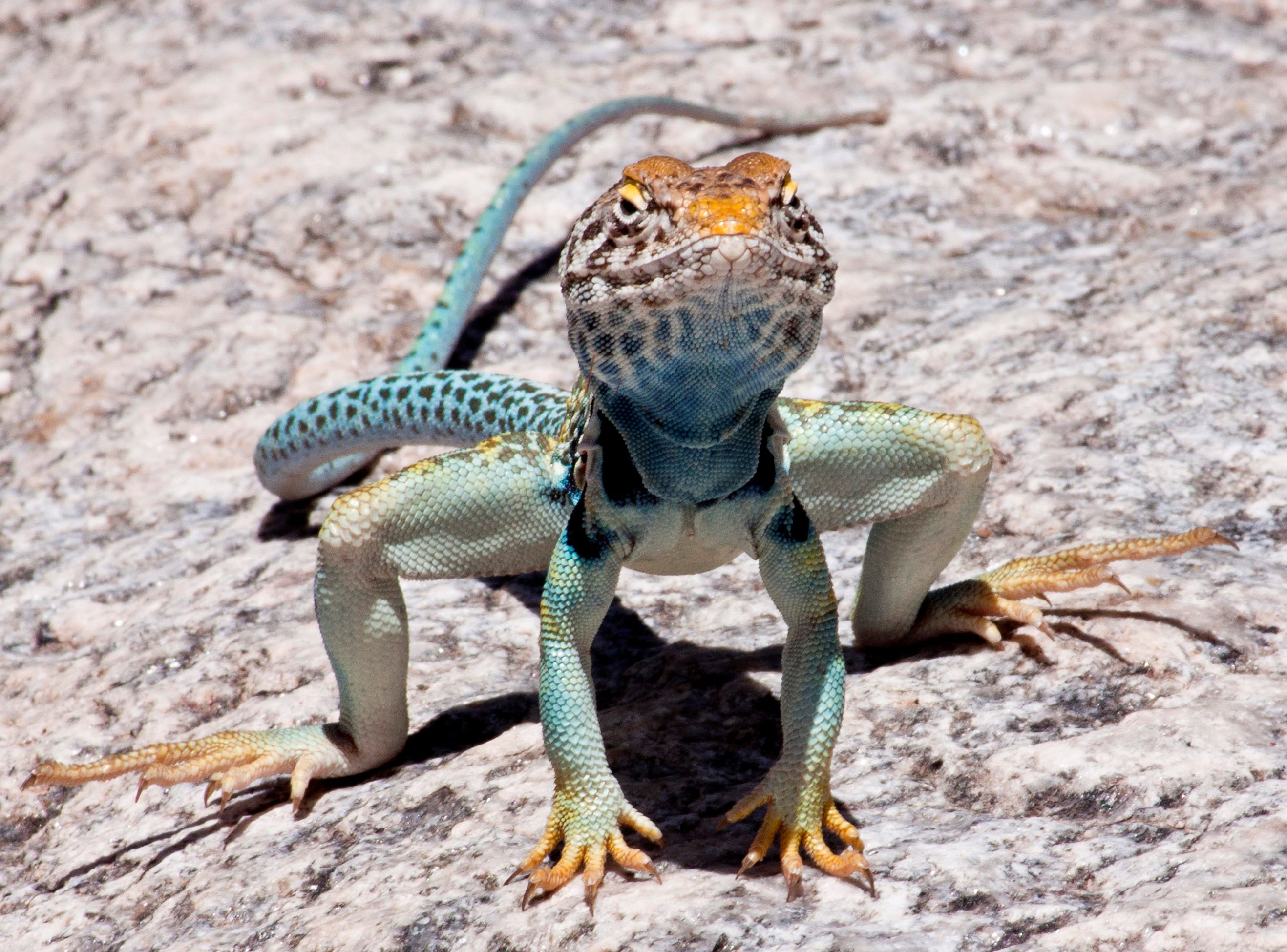 collared lizard coloring pages - photo#24
