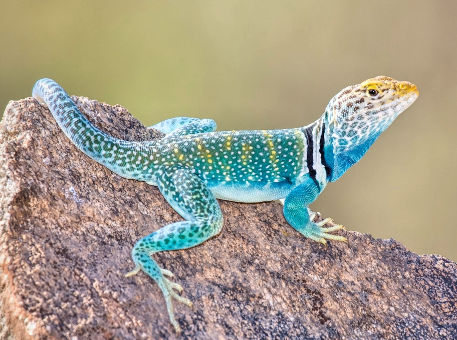 Collared Lizard coloring #4, Download drawings