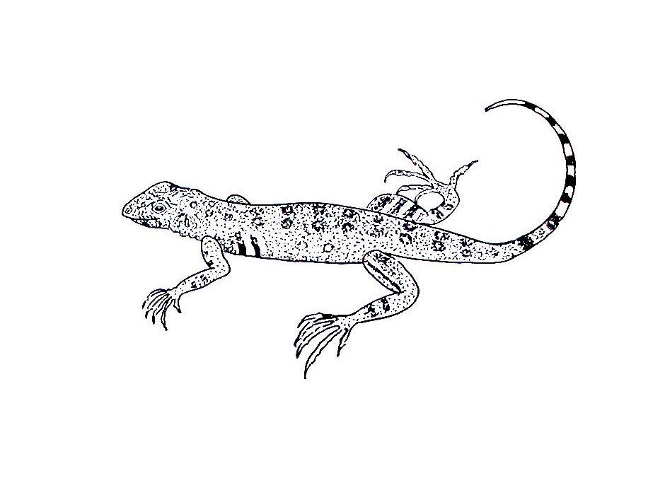 Collared Lizard coloring #8, Download drawings
