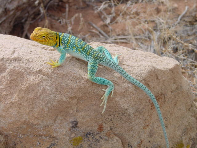 Collared Lizard coloring #2, Download drawings