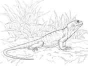 Collared Lizard coloring #16, Download drawings